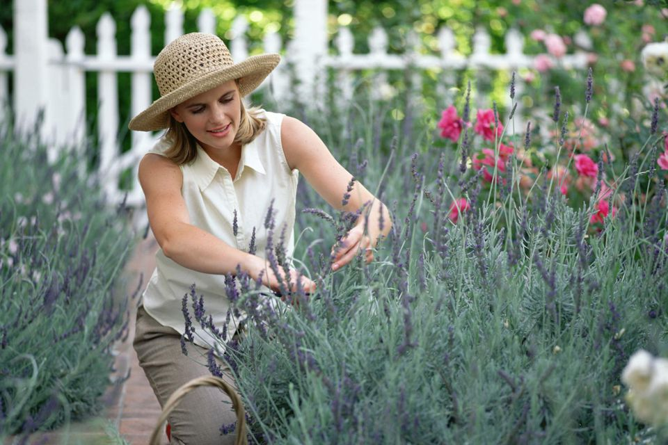 Woman pruning lavender