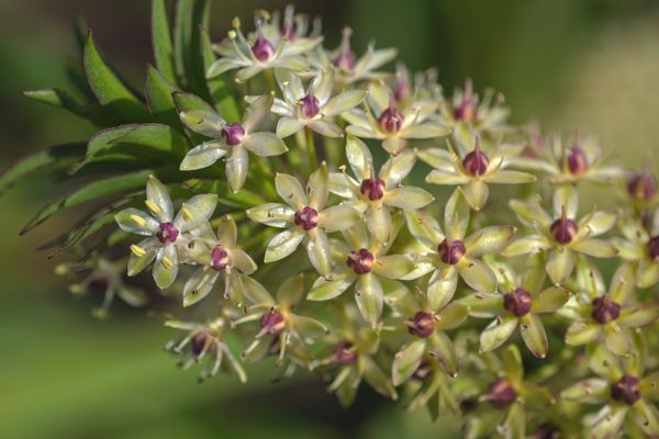 Pineapple lily with white flowers closeup