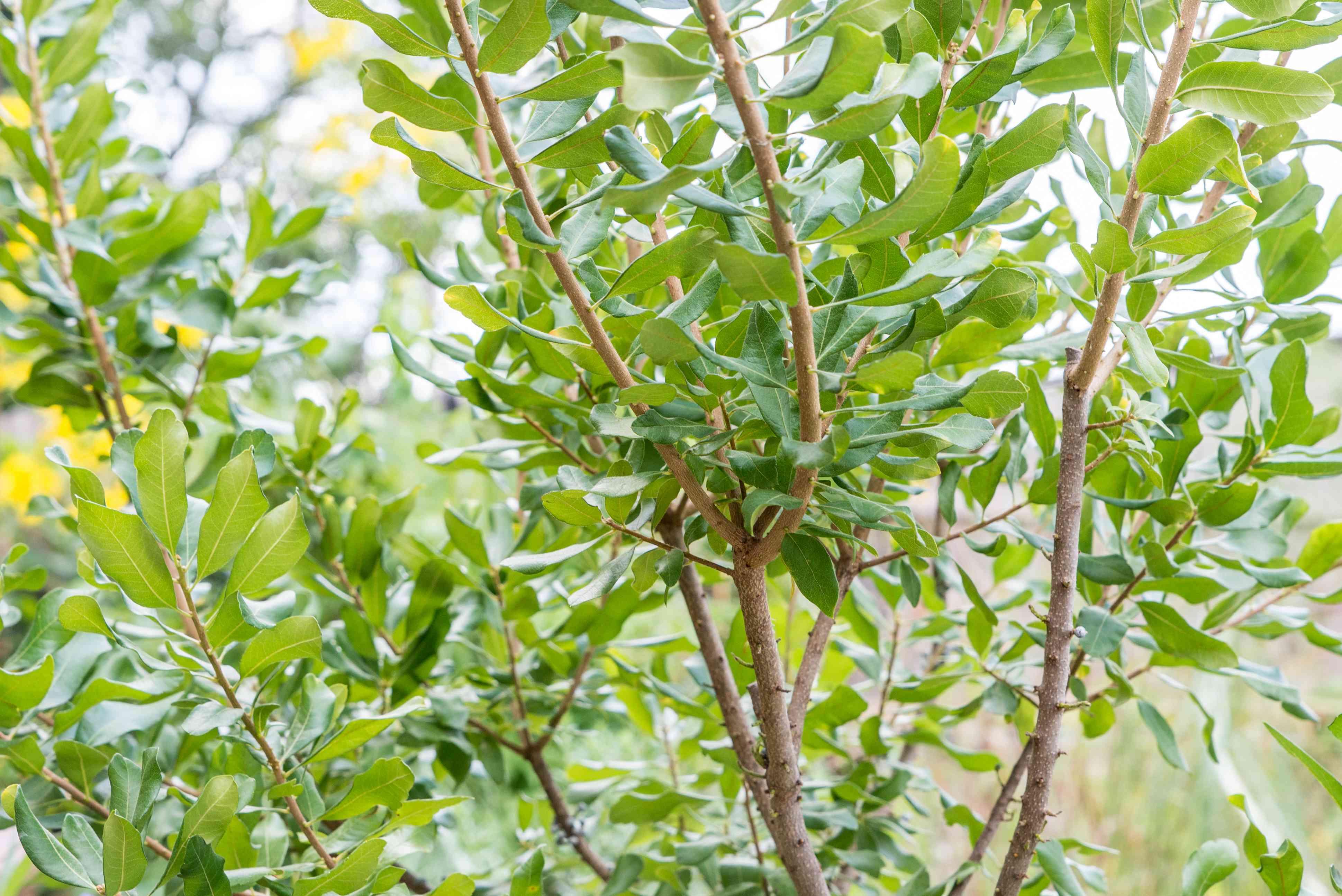 bayberry shrub foliage