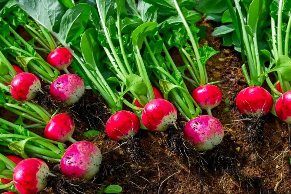 radishes in the garden