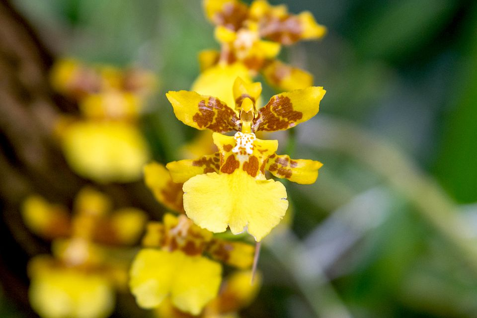 Psychopsis orchid with yellow and brown sepals closeup