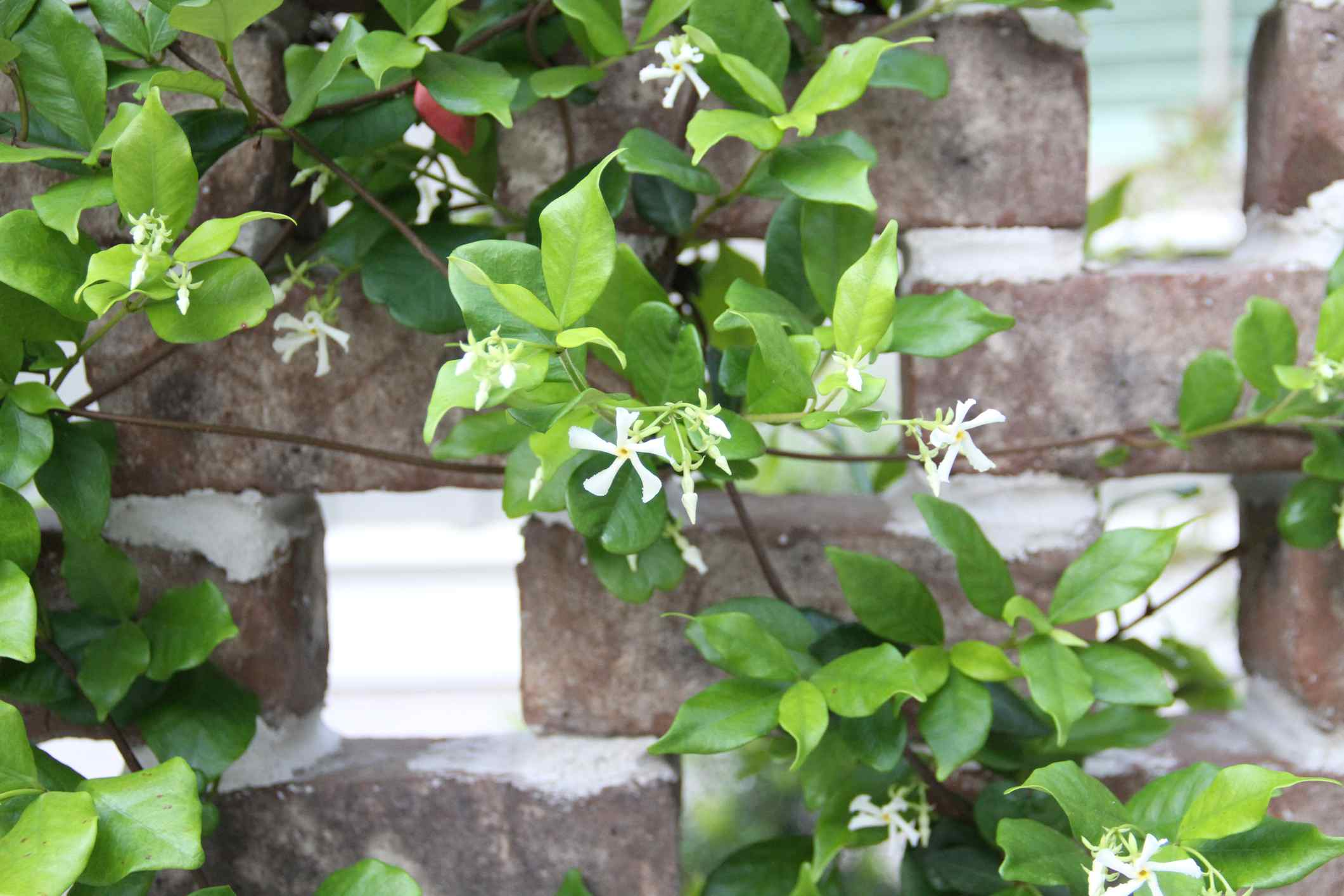 Confederate jasmine vine flowering while climbing a wall.
