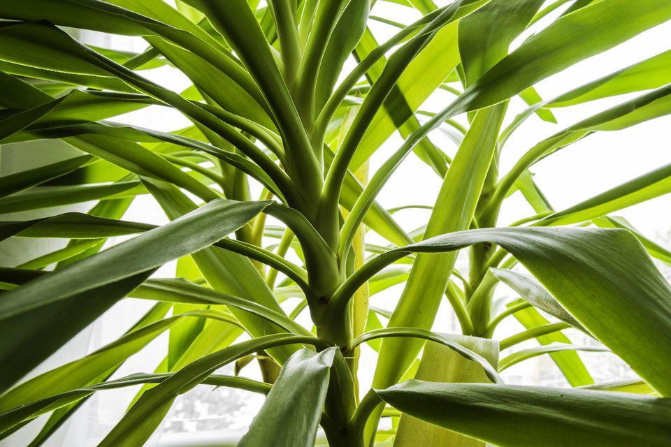 Spineless Yucca (Yucca Elephantipes)