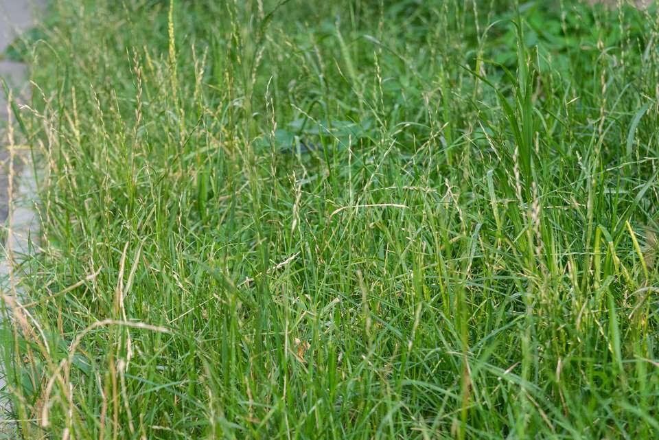 Perennial ryegrass with short green blades in lawn