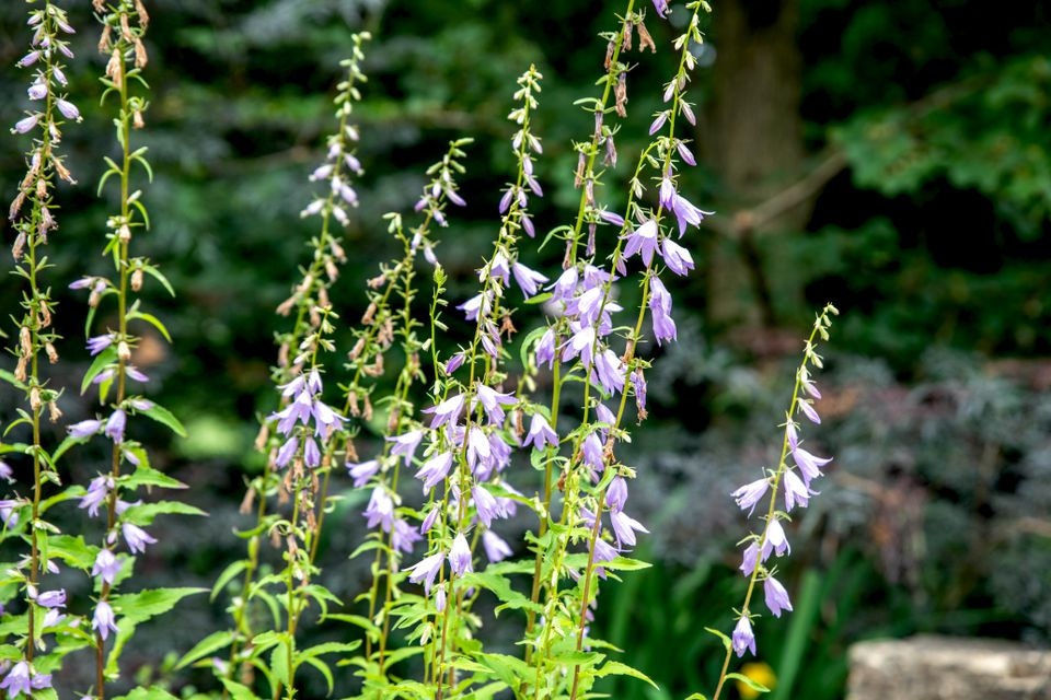 Bellflower plant with small light purple and white flowers in sunlight