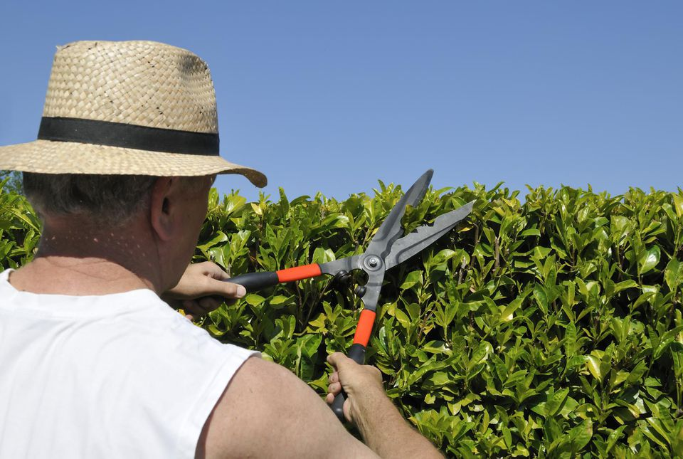 A man trimming a hedge with hand-held hedge trimmers or shears