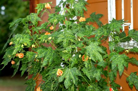 How To Care For Abutilon Plants Aka Flowering Maples