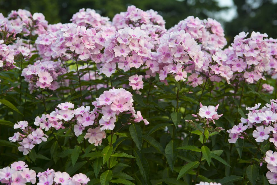 Tall garden phlox care varieties of popular perennial varieties with light pink flowers several plants of rosa pastell tall garden phlox growing together mightylinksfo