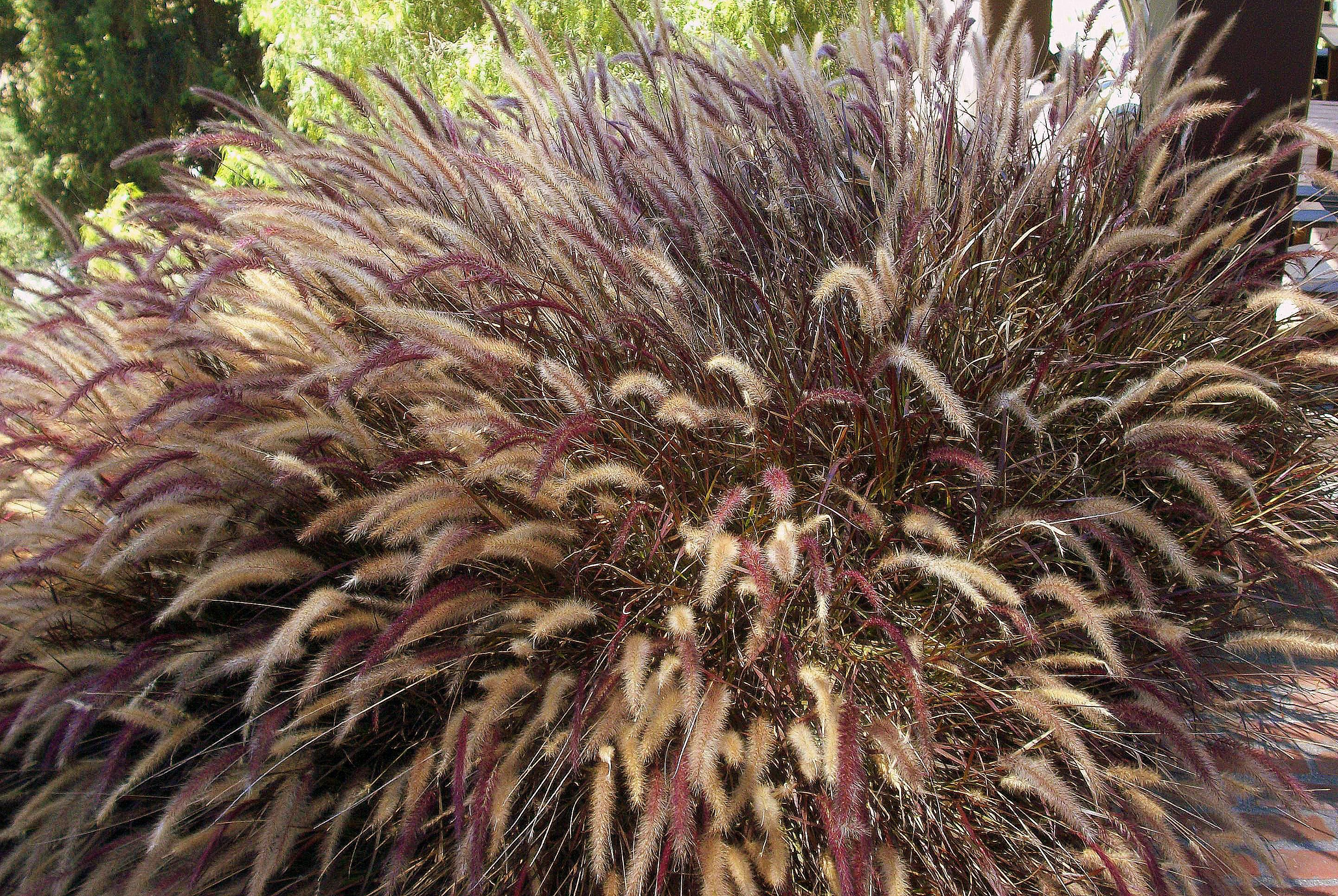 fountain grass (Pennisteum setacum) and its fluffy tails.