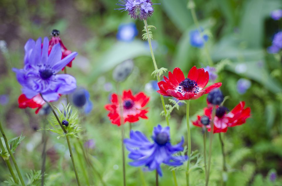 Red and purple anemone blossoms