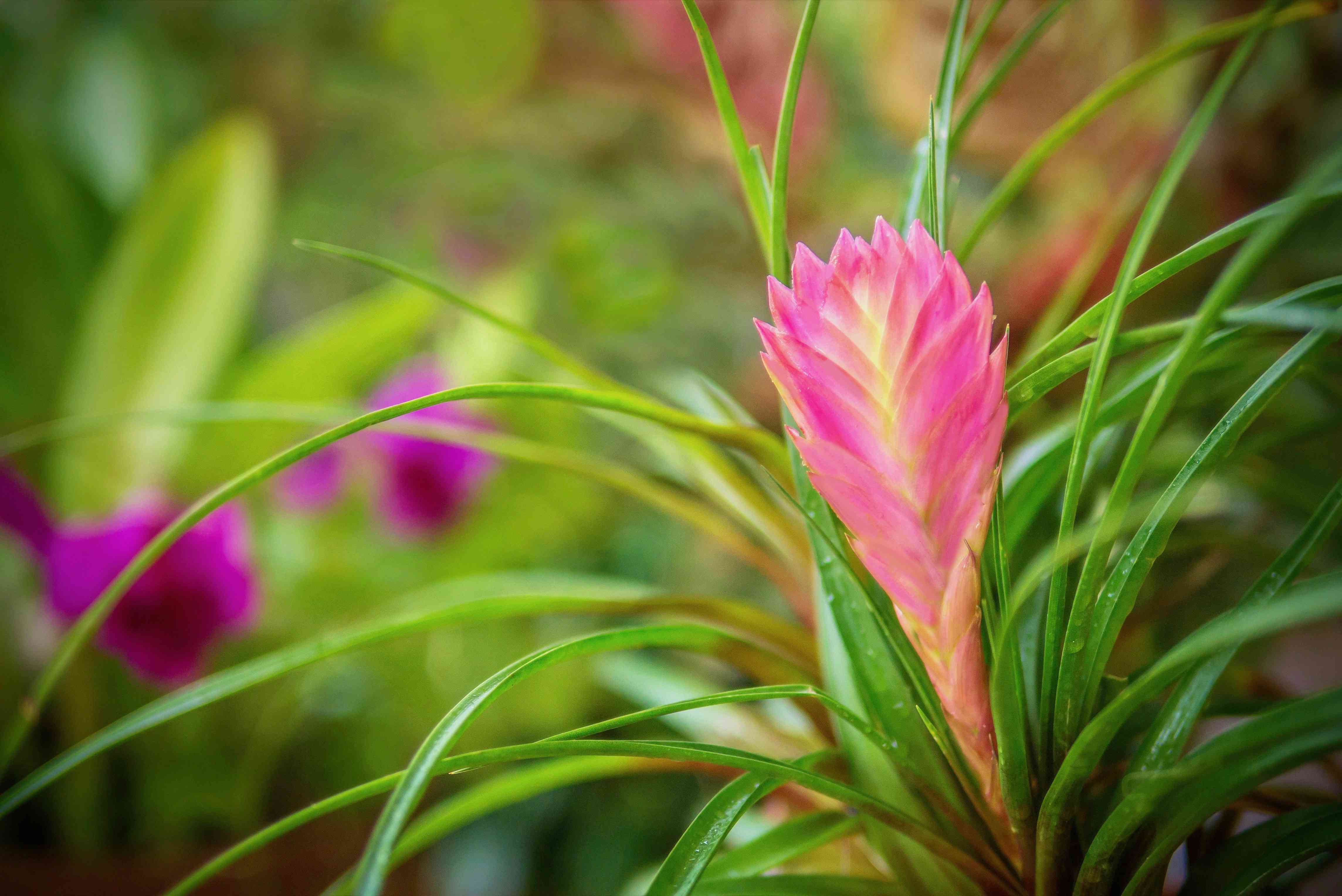 Pink quill plant with a pink bloom