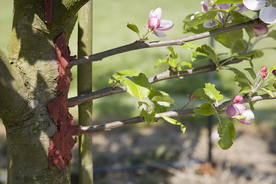 Grafts for a replacement arm on an established trained apple tree