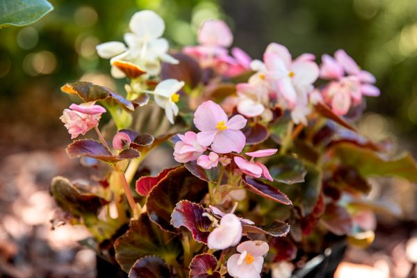pink begonias in the shade