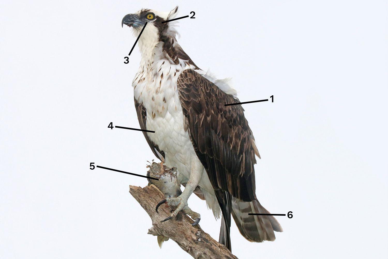Feeding Osprey ID