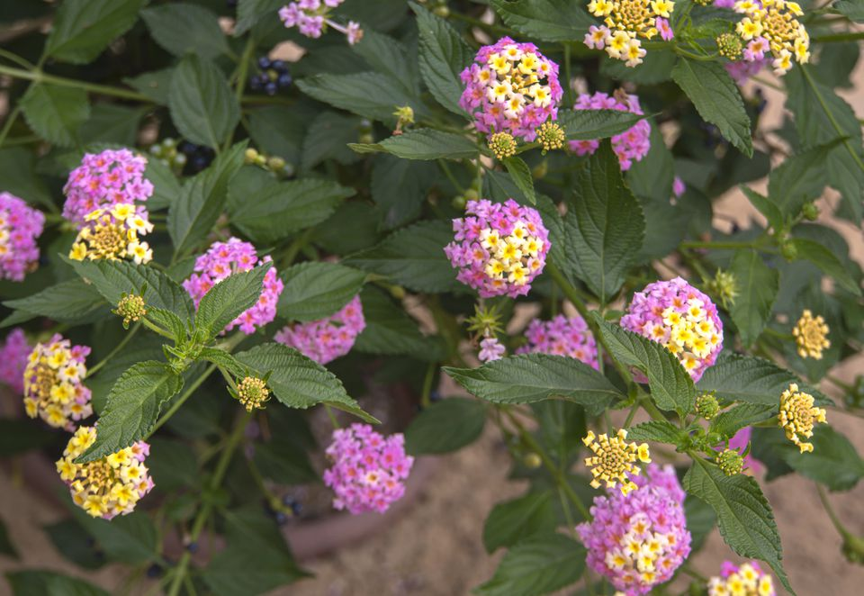 Lantana with pink and yellow flowers as desert landscape plant