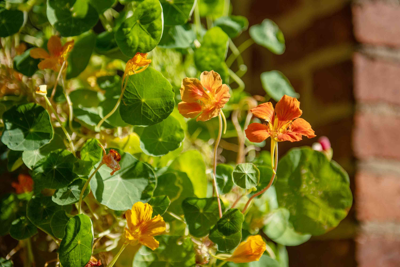 nasturtium flowers in the sun