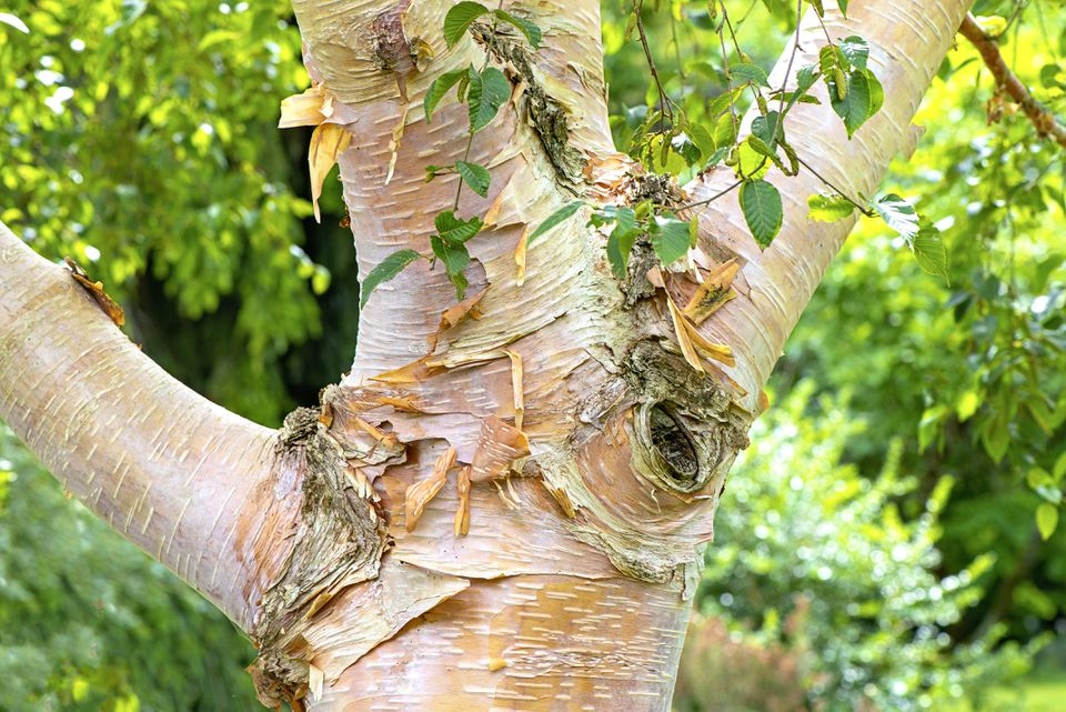 Looking for a deciduous tree that offers year-round interest? Learn how to care for Himalayan Birch in this helpful guide.