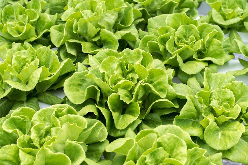butter lettuce in hydroponic garden