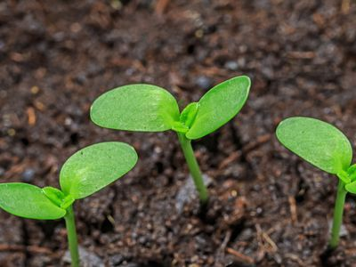 Seeds sprouting from soil
