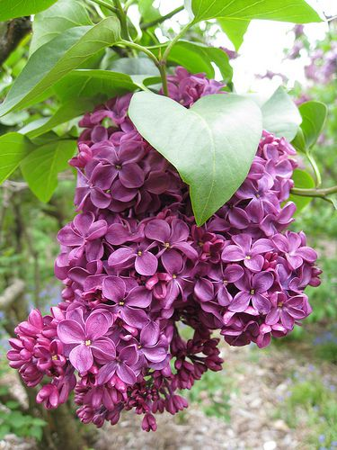 New Hampshire State Flower, Purple Lilac