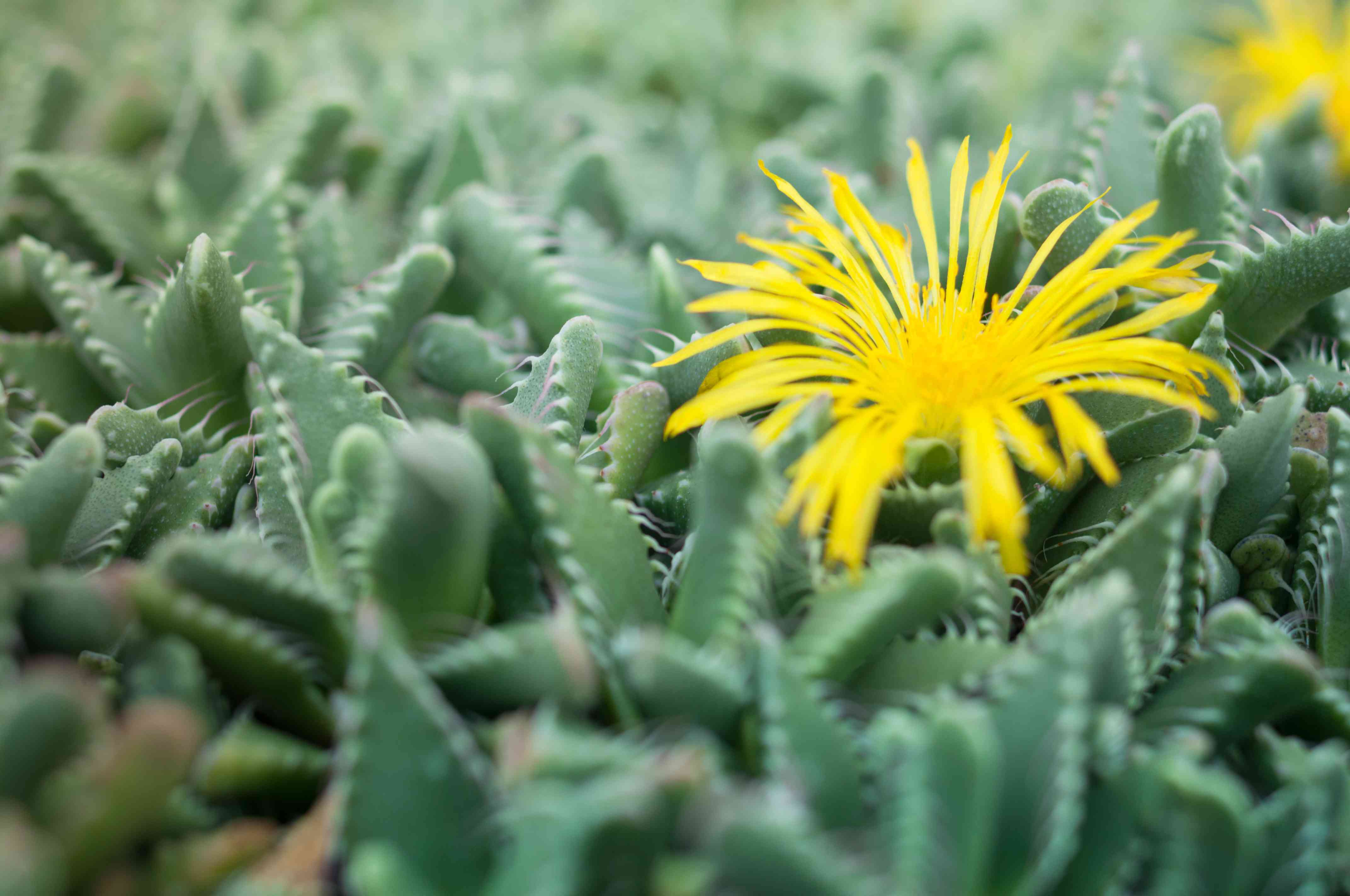 Faucaria tuberculosa - Yellow Flower Pebbled Tiger Jaws Cactus