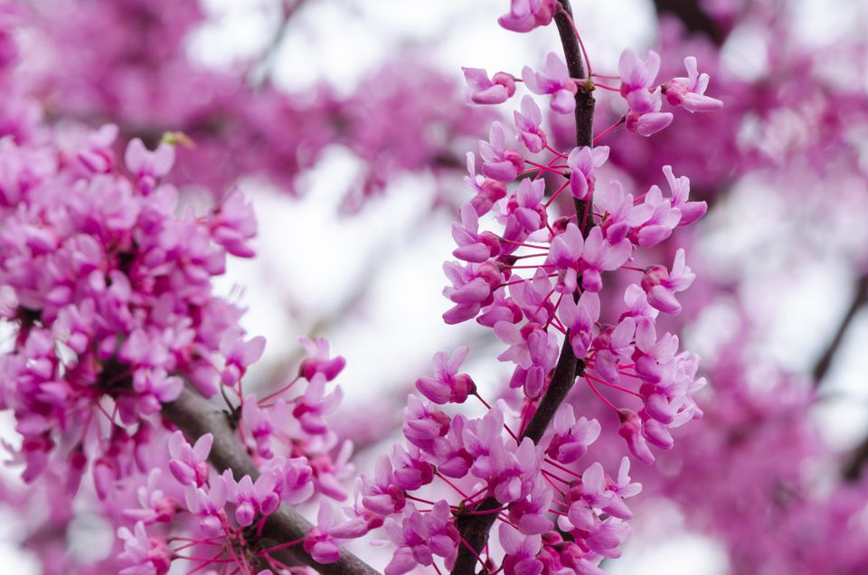 eastern redbud bush flowers