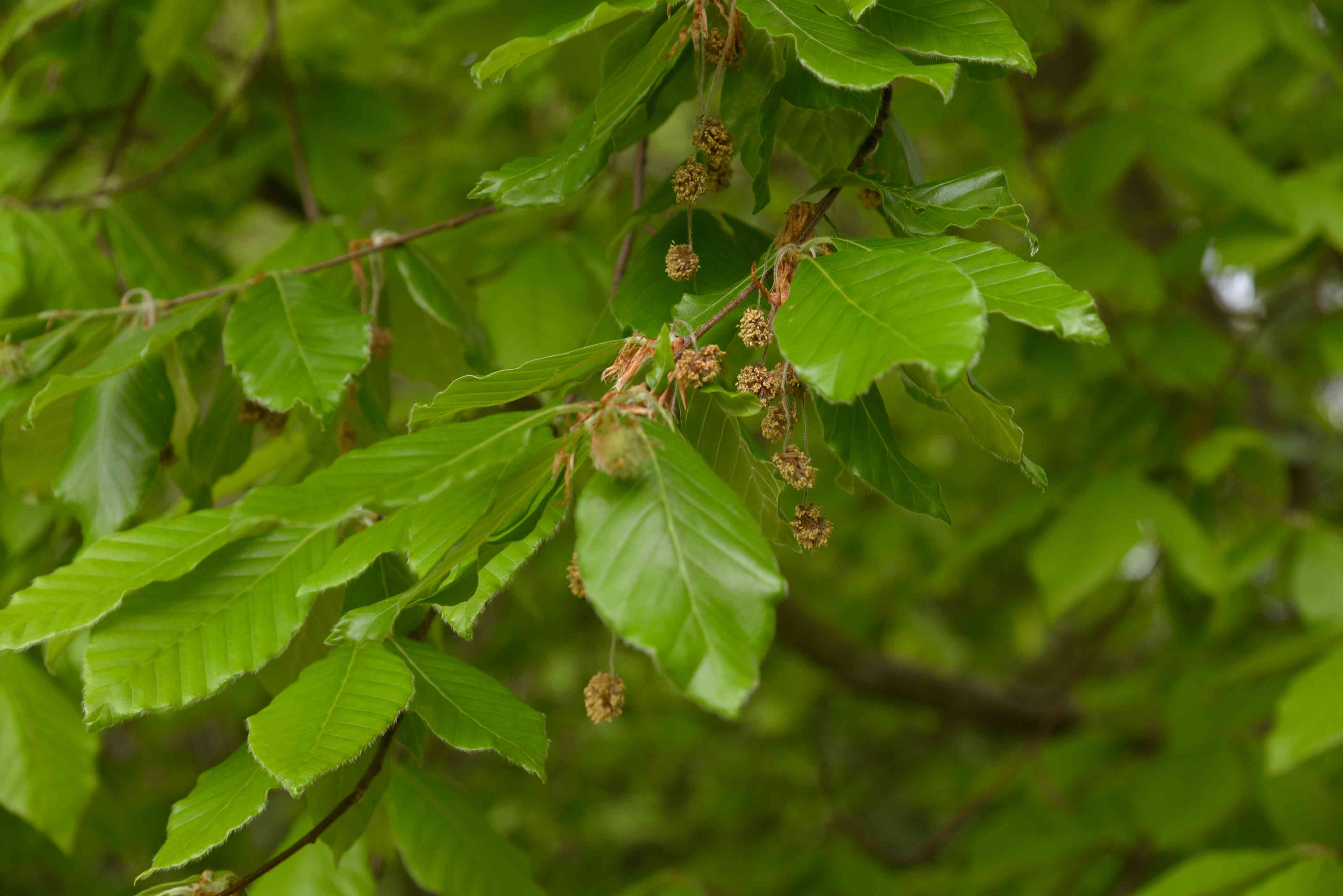American beech tree branch with oval veined leaves with small beechnuts