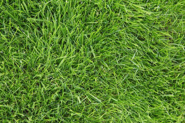 Looking down on fresh green lawn grass