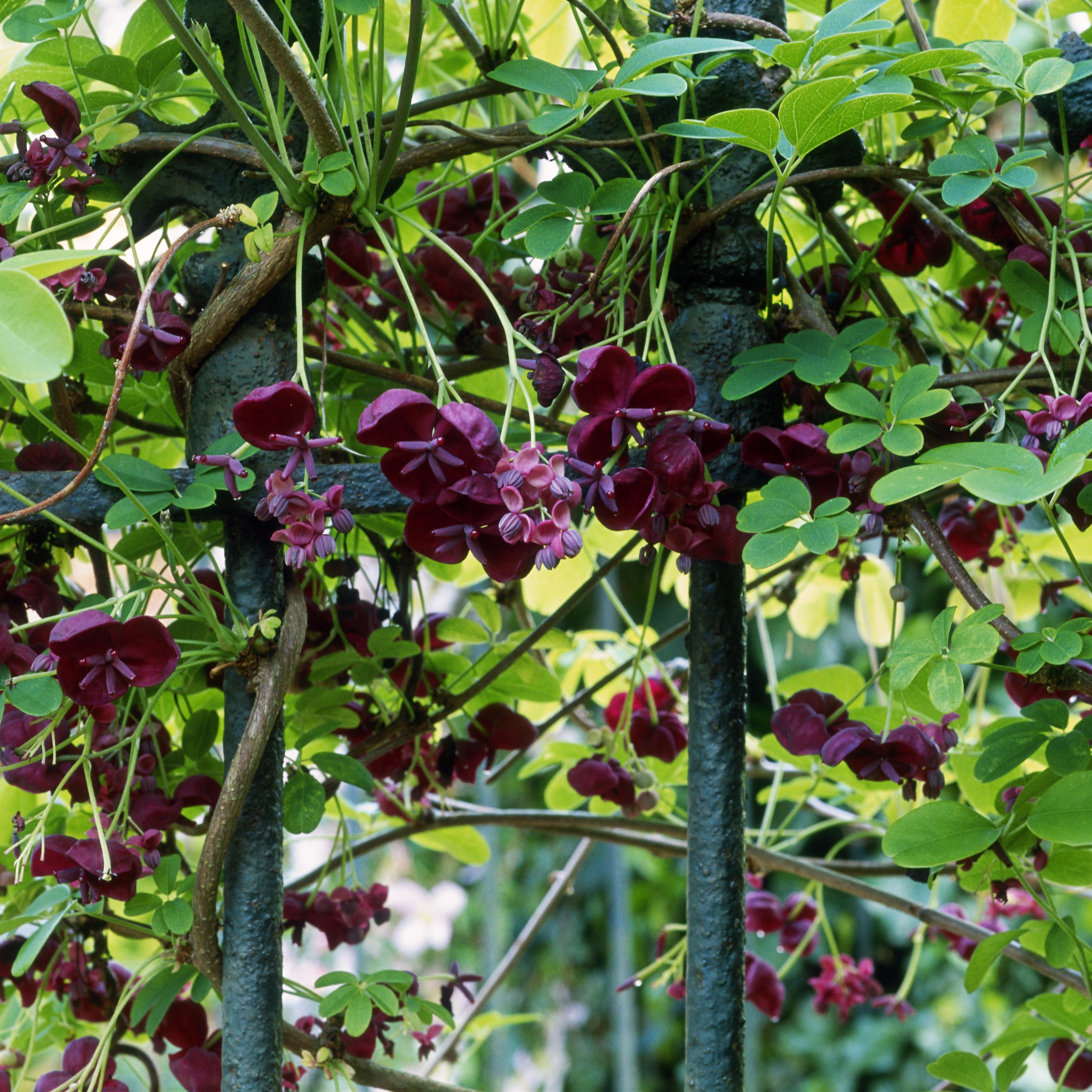 How To Grow And Care For Chocolate Vine