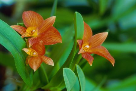 How To Grow Stunning Cattleya Orchids Indoors