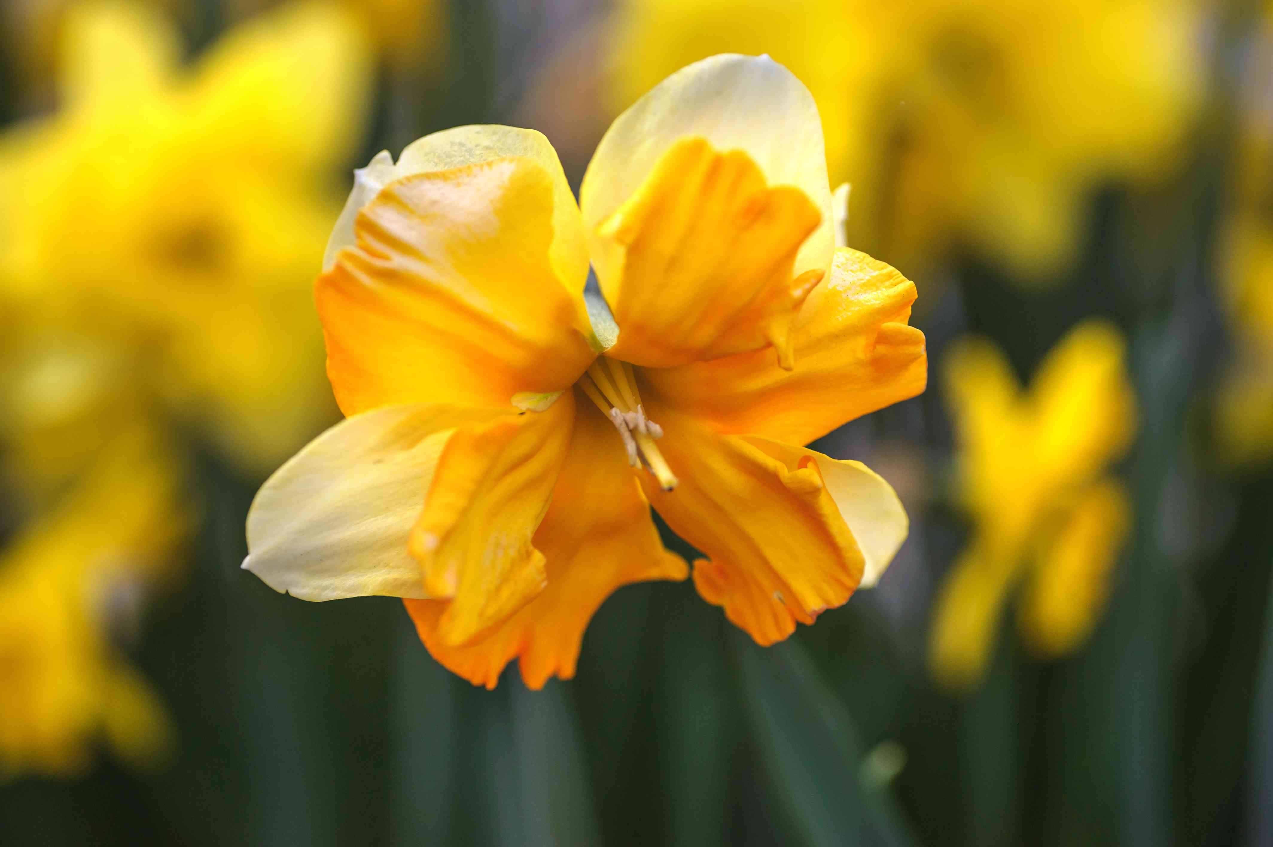 Split-cupped daffodil with orange flowers