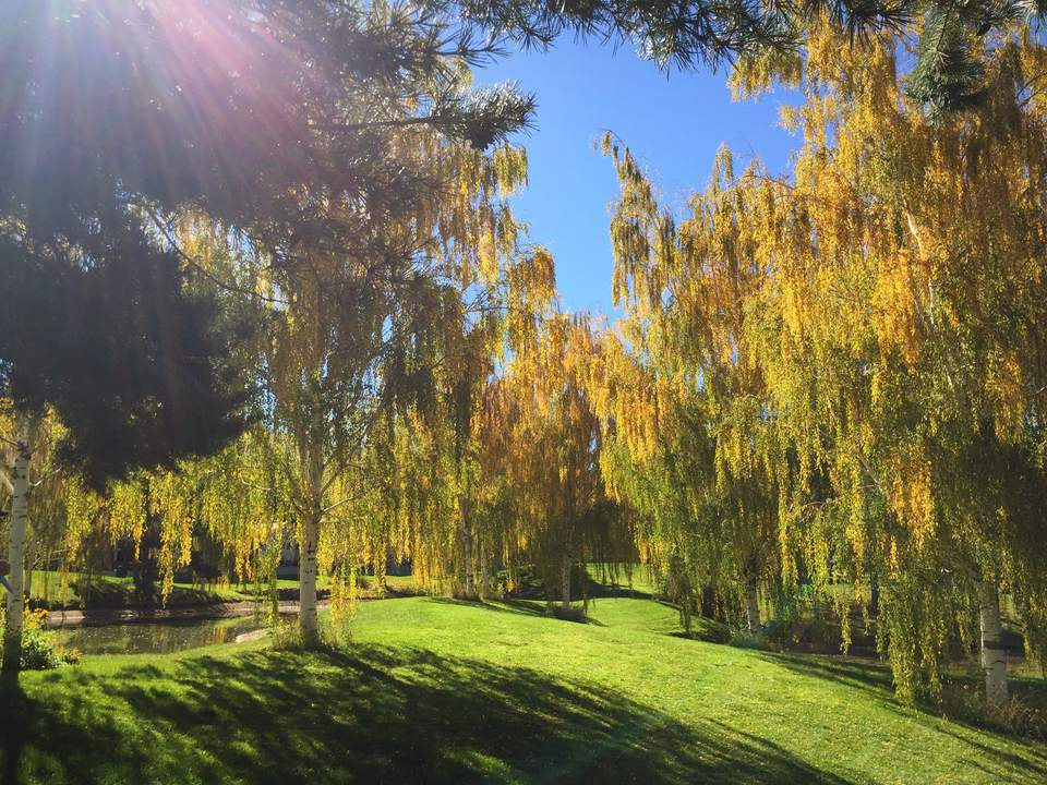 A set of weeping willow trees