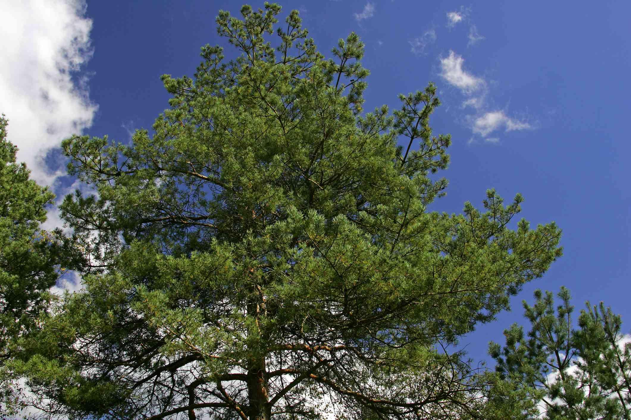 scotch pine - scots pine - conifer - (Pinus sylvestris)