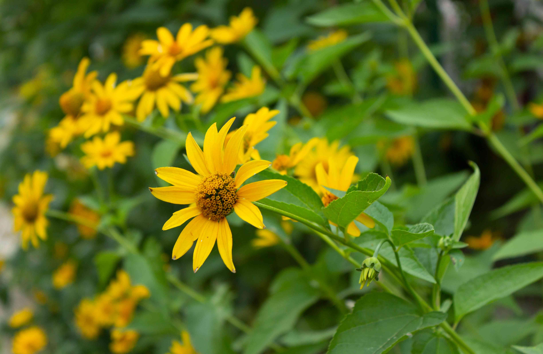 Heliopsis helianthoides / yellow garden flowers in the summer garden