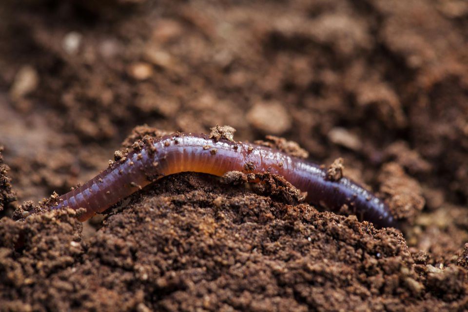 An earthworm half submerged in dirt