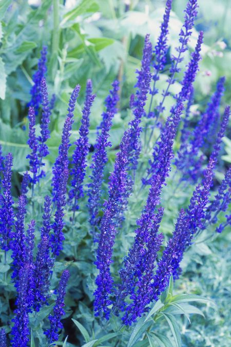 14 Great Landscape Plants With Purple Flowers