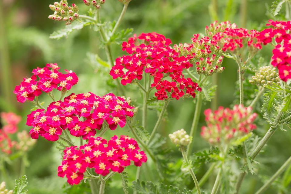 Red Paprika yarrow