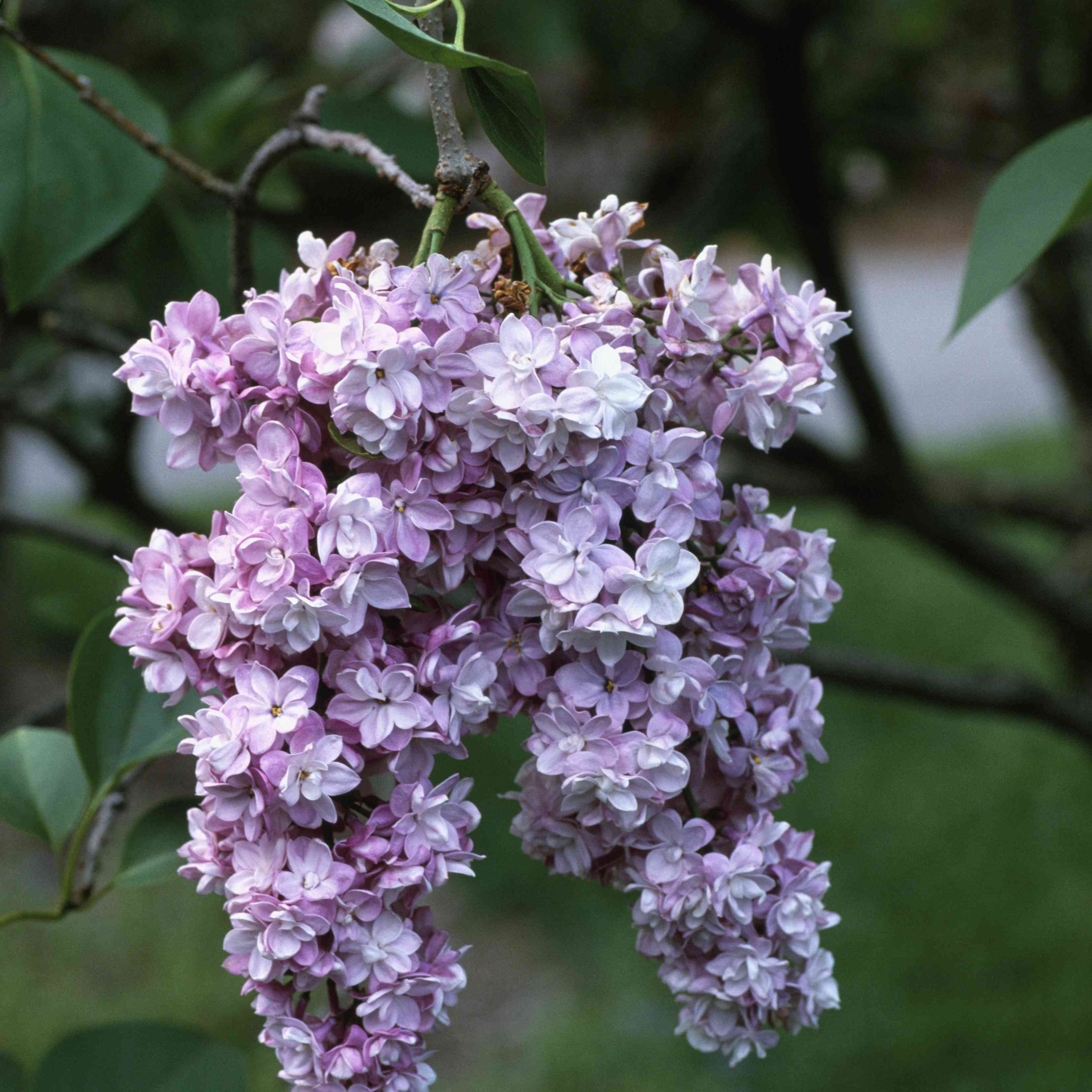 The Paul Thirion lilac with purple flowers
