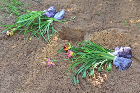 Divide And Transplant Daylilies For Healthy Plants