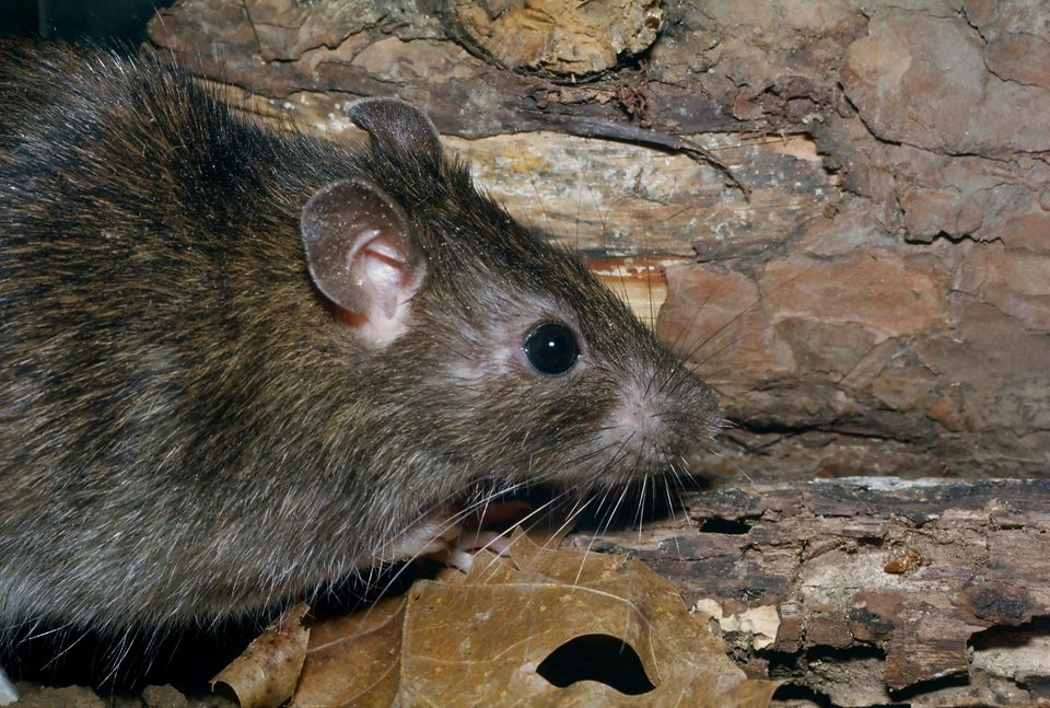 Close-up of a Norway rat (rattus norveigus)