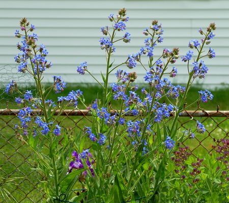 Italian Bugloss Tall Perennial With True Blue Flowers