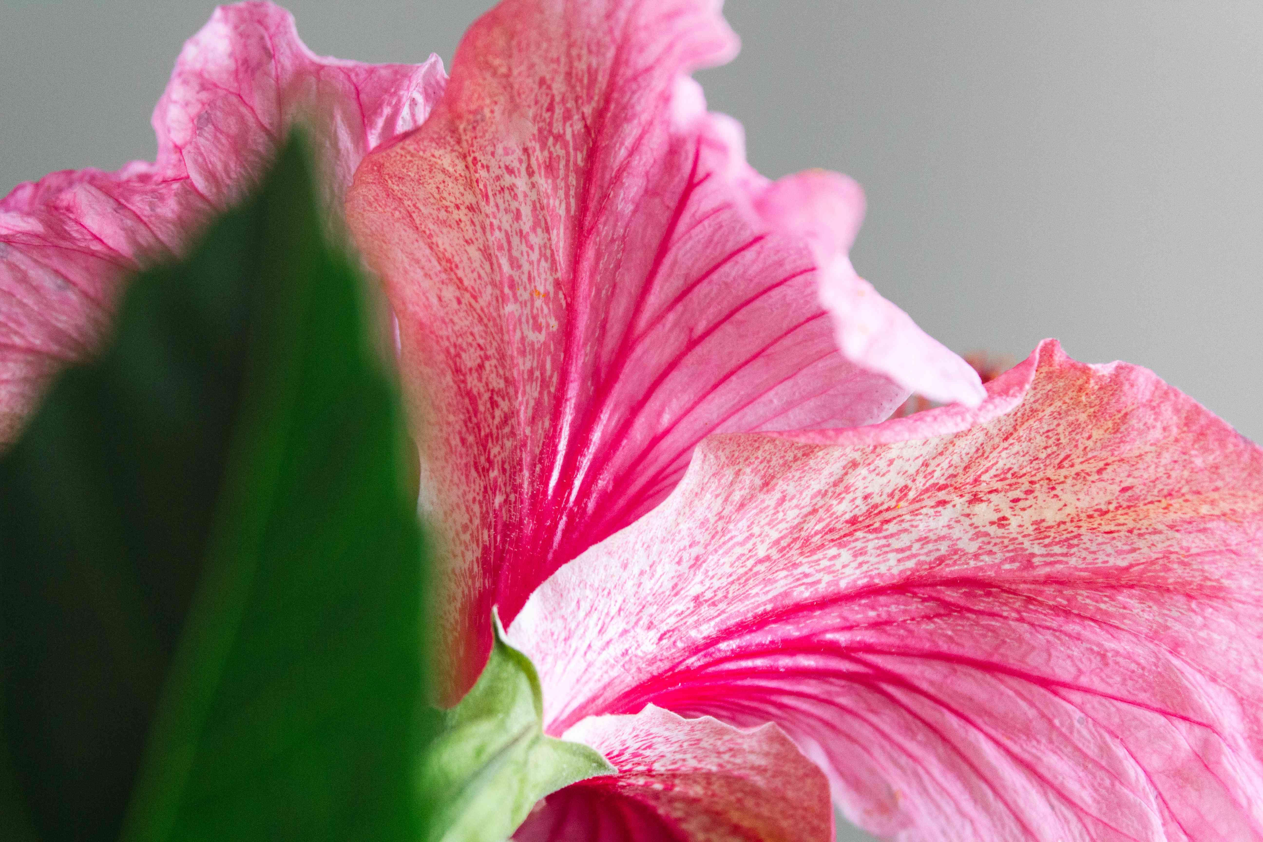 closeup of hibiscus flower
