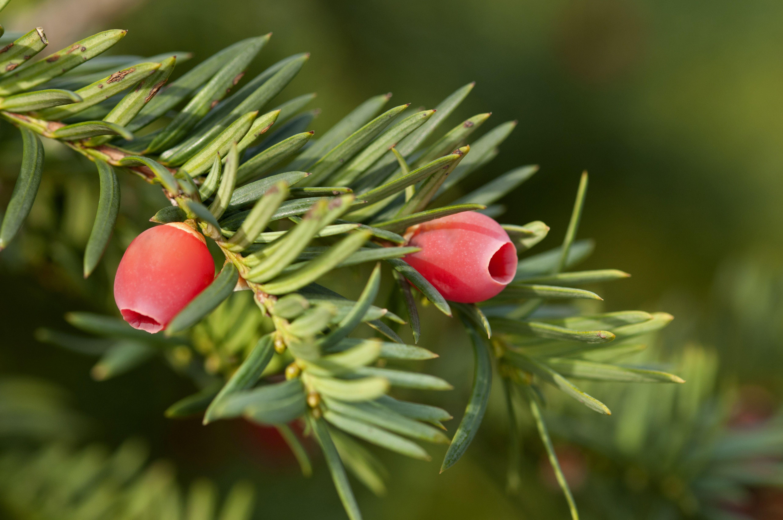 Yew shrub with berries.