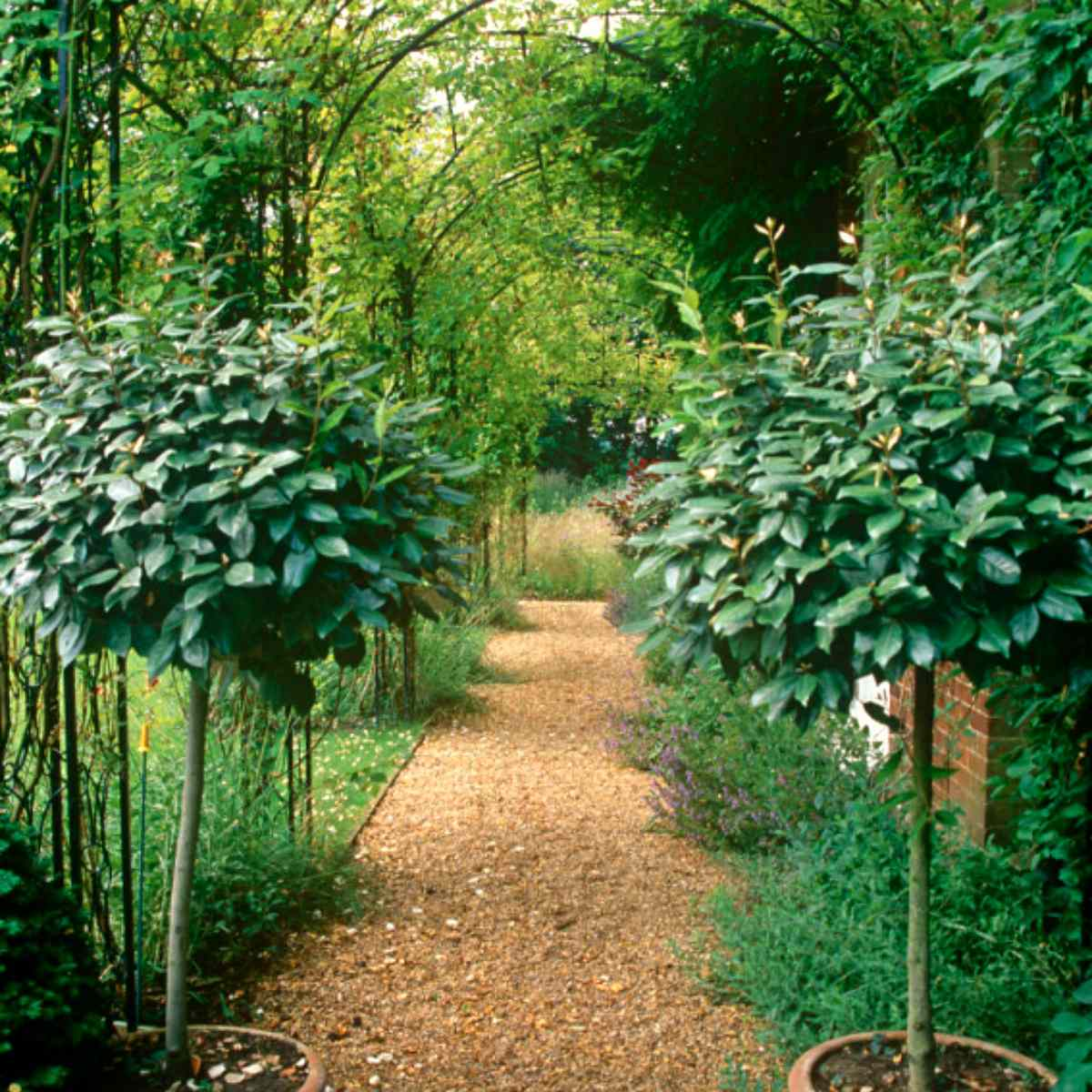 Shade garden with two potted trees and vine-covered archway.