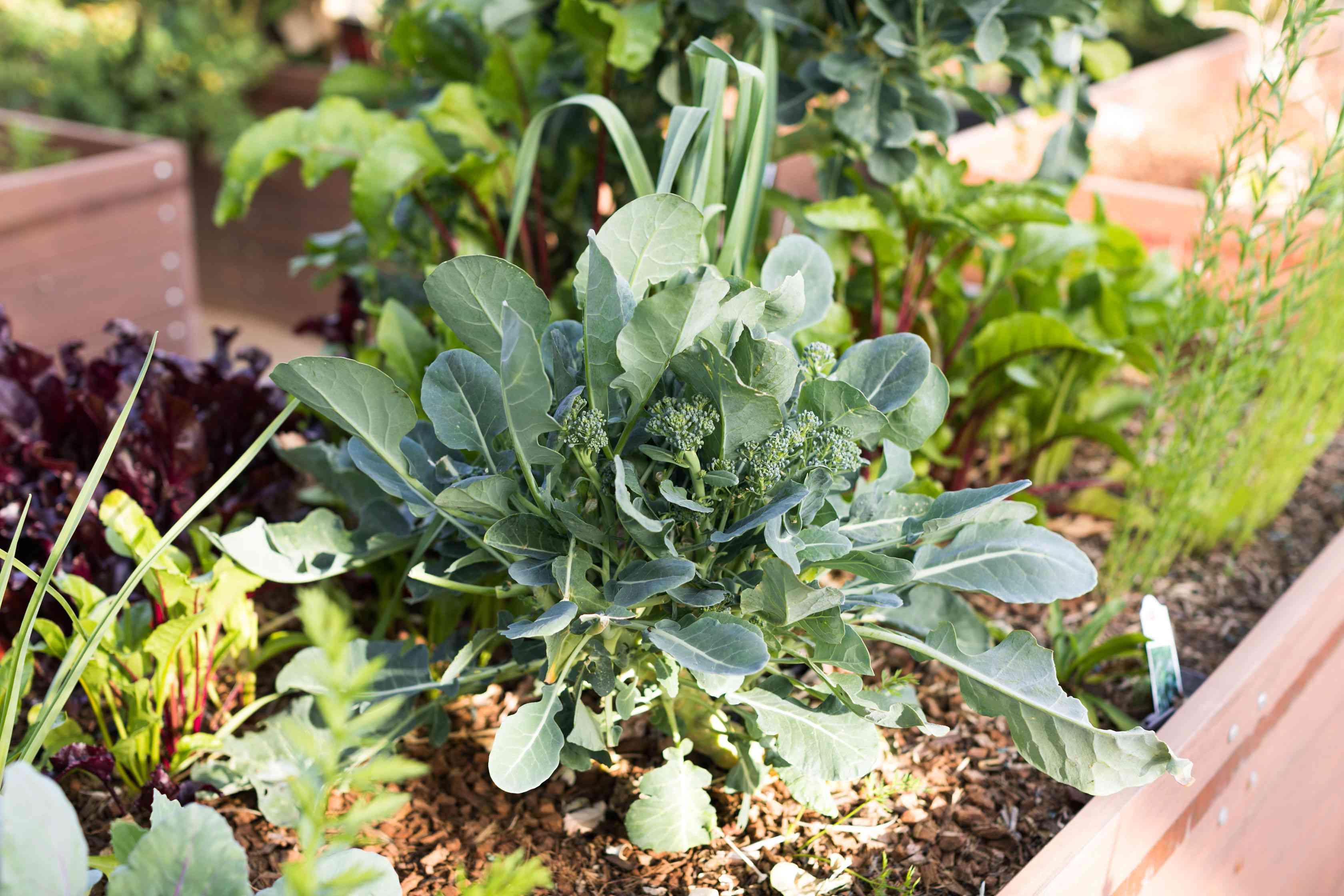 Broccoli in the vegetable garden