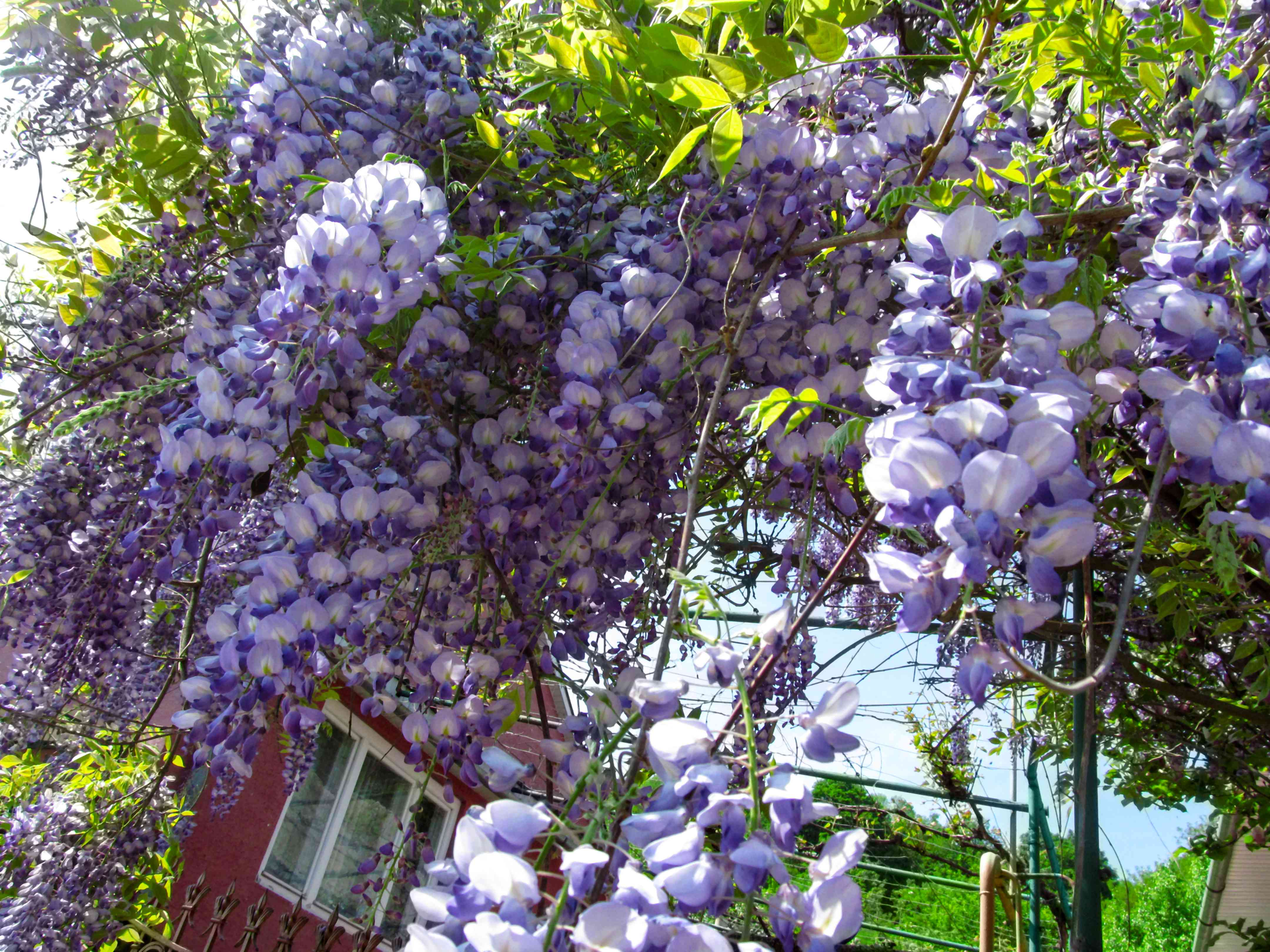 Bright floral background of blue-purple large flowers of wisteria