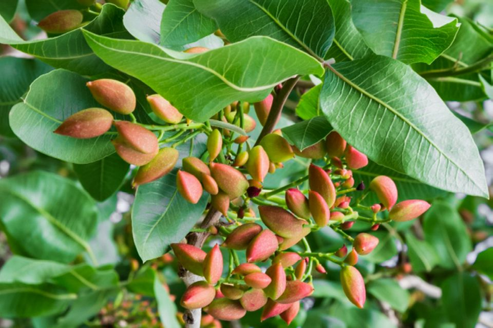 Pistachio tree leaves with reddish-green pistachio nuts hanging below closeup