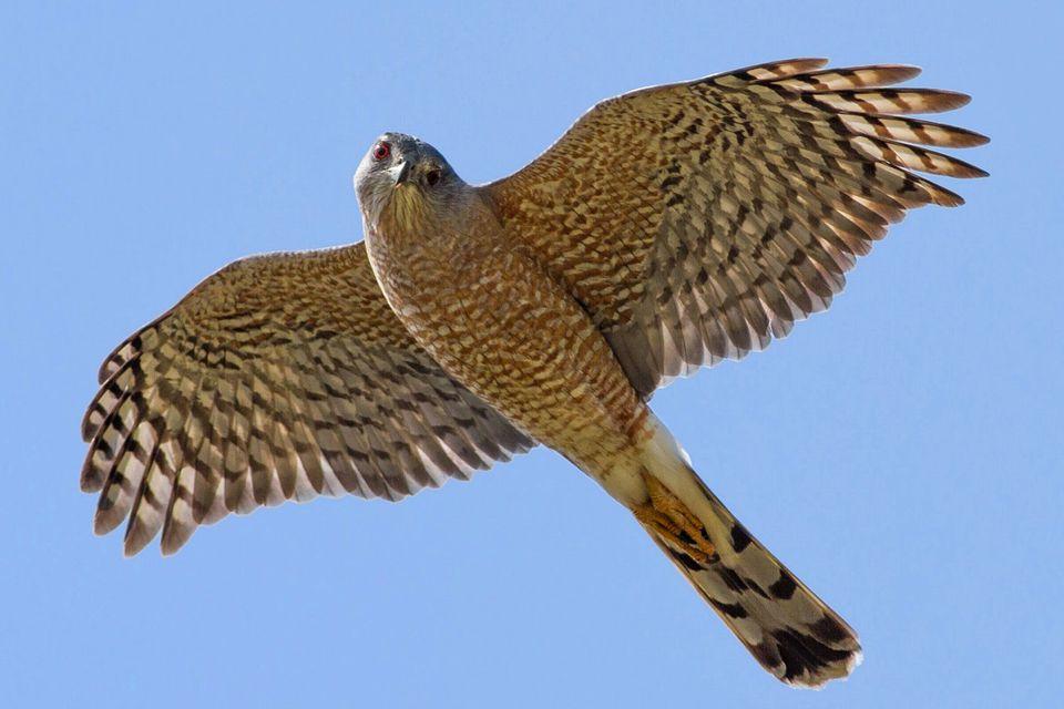 El halcón de Cooper en vuelo