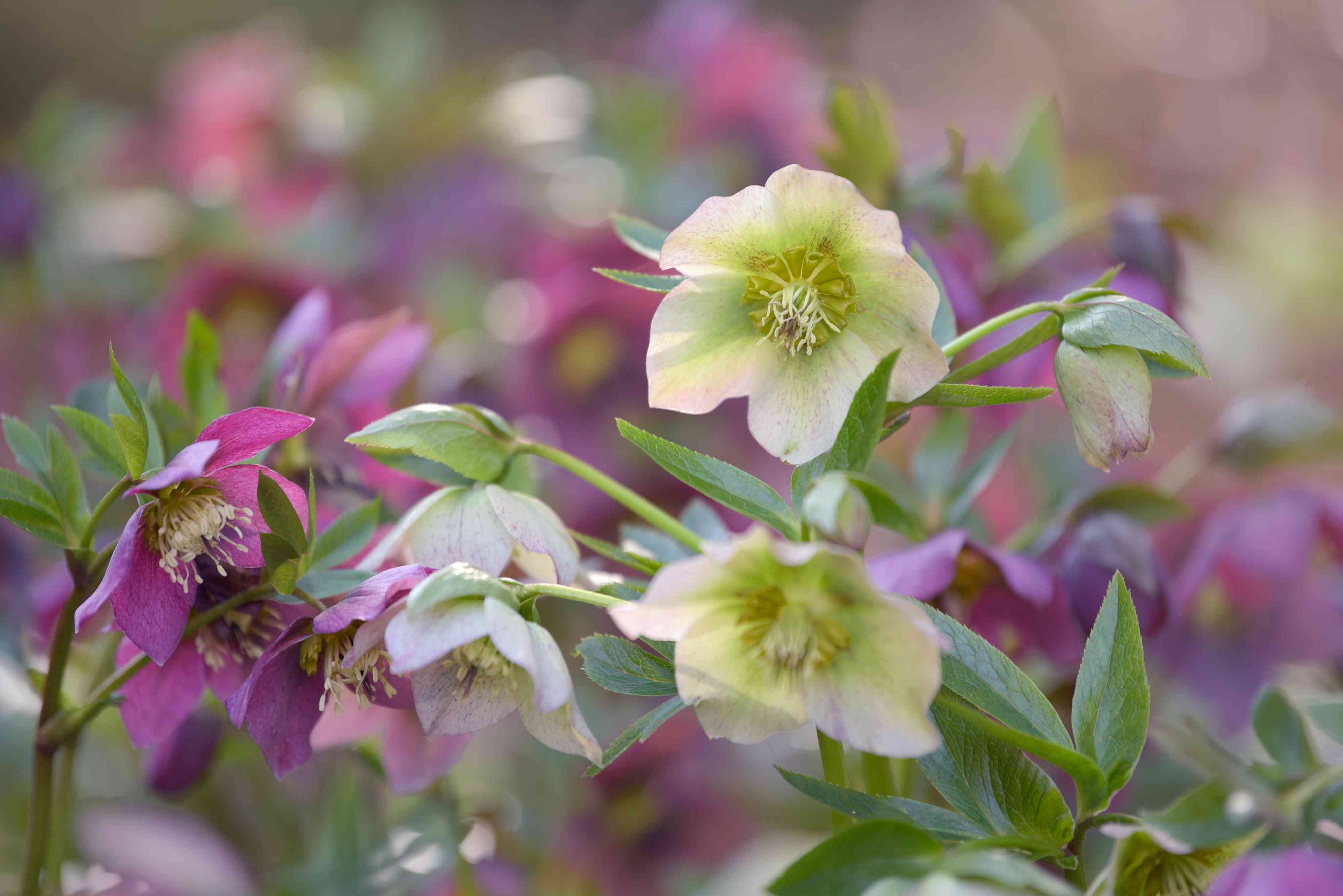 Lenten rose with fuchsia and yellow-green flowers and buds closeup