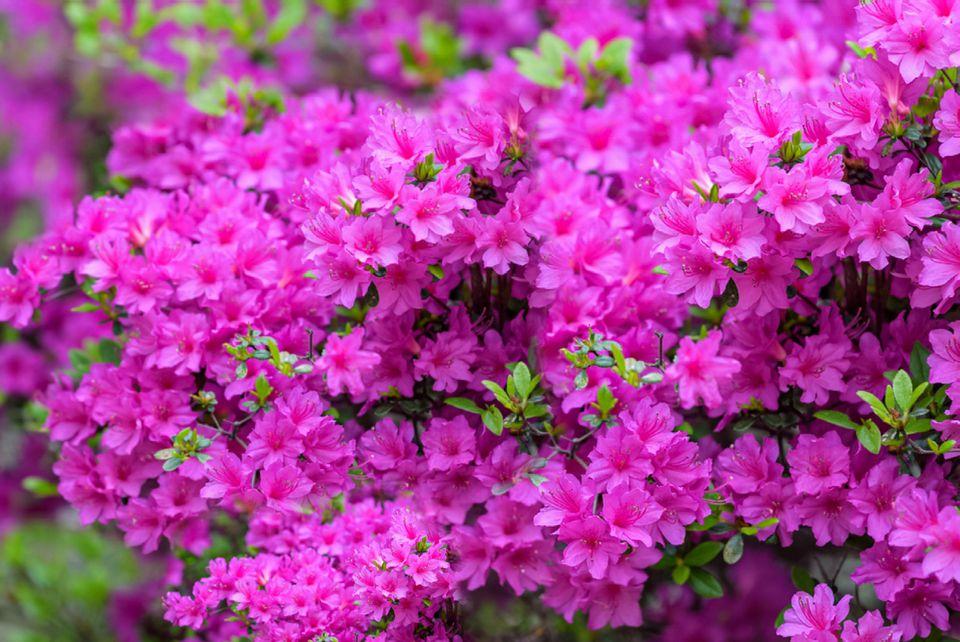 flowering azaleas